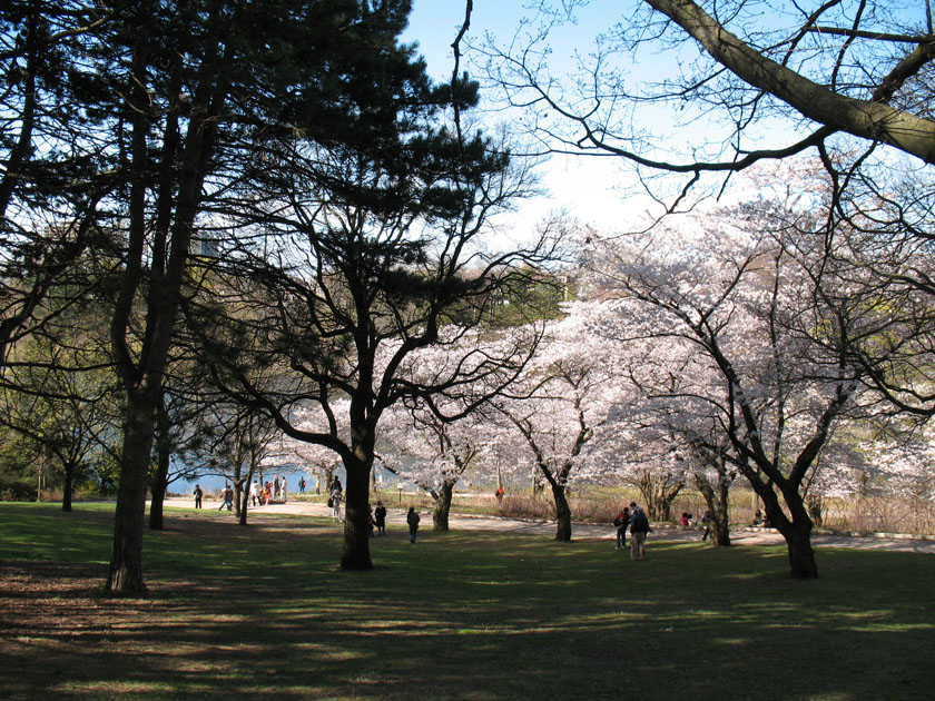 Sakura Blooming at High Park Toronto